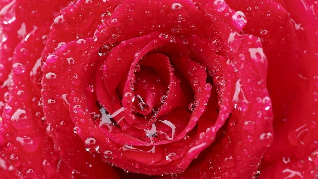 flowers-wallpaper_1920x1080_83693